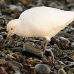 Sheathbill on the shore 1