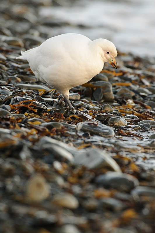 Sheathbill on the shore 4