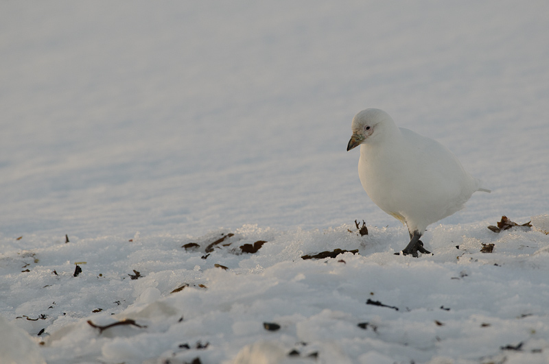 Sheathbill in the snow