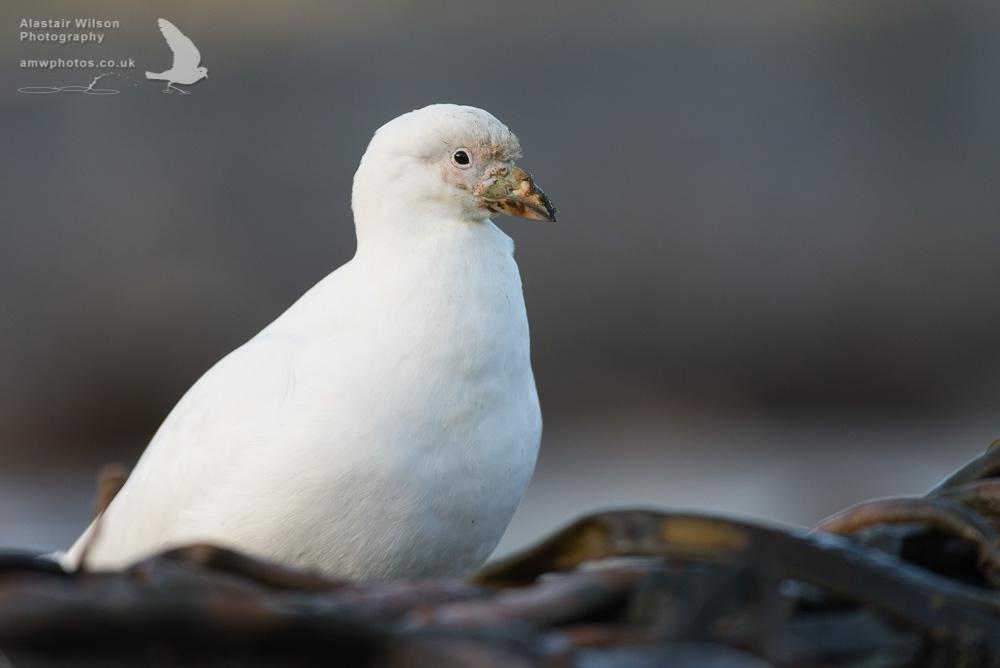 Sheathbill standing in Kelp