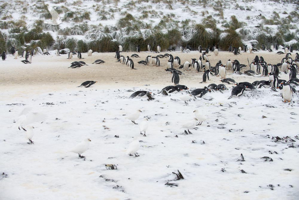 How many Sheathbills can you count in the snow?