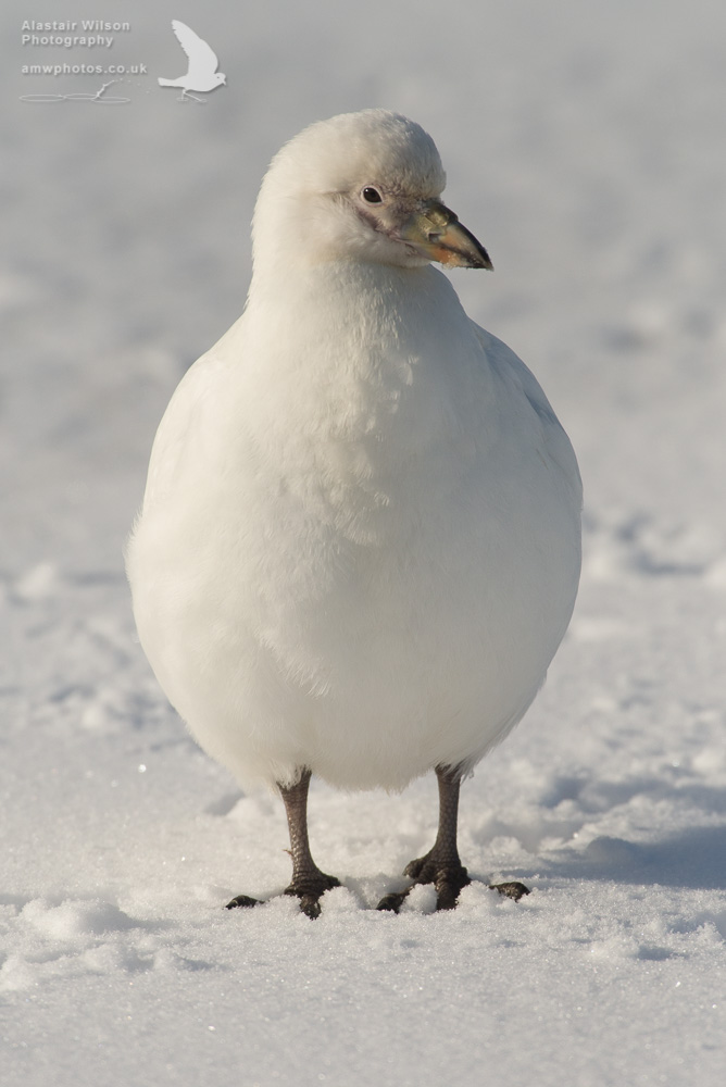 Sheathbill in the snow on Bird Island