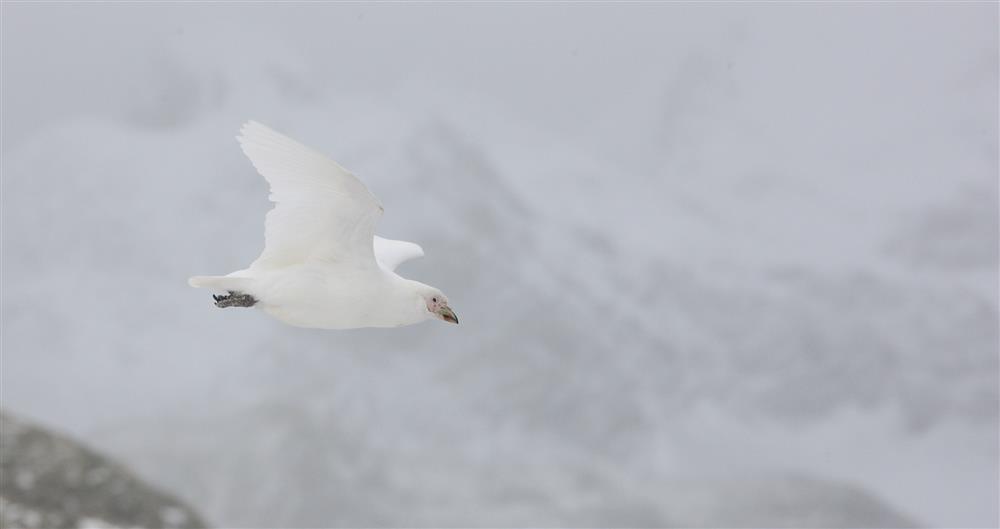 Flying Sheathbill 2-MickMackey