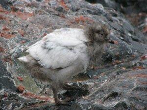 Sheathbill juvenile-Dick Taylor