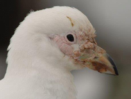 Sheathbill head, side
