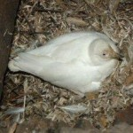 Sheathbill incubating