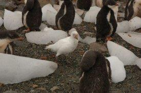 Sheathbill amongst penguins