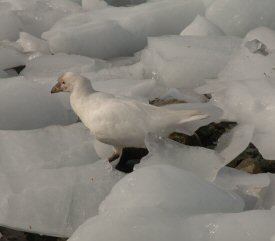 sheathbill in the ice