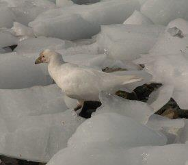 Sheathbill amongst ice