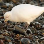 Sheathbill on the shore 1