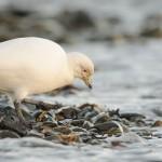 Sheathbill on the shore 2