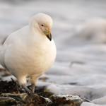 Sheathbill on the shore 3