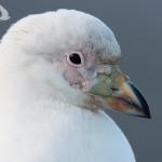 Sheathbill head