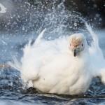 Sheathbill bath