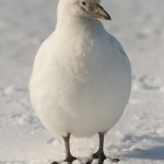 Sheathbill in the snow on Bird Island