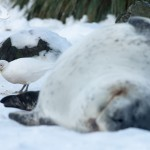 A Sheathbill eating the edible parts from Leopard Seal faeces