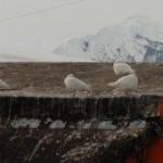 Sheathbills on the roof
