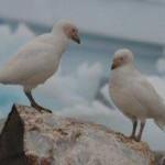 Pair of Sheathbills