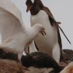 Sheathbill attack