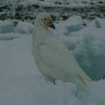 Sheathbill on ice