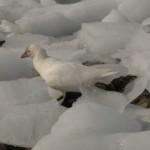 sheathbill in the ice